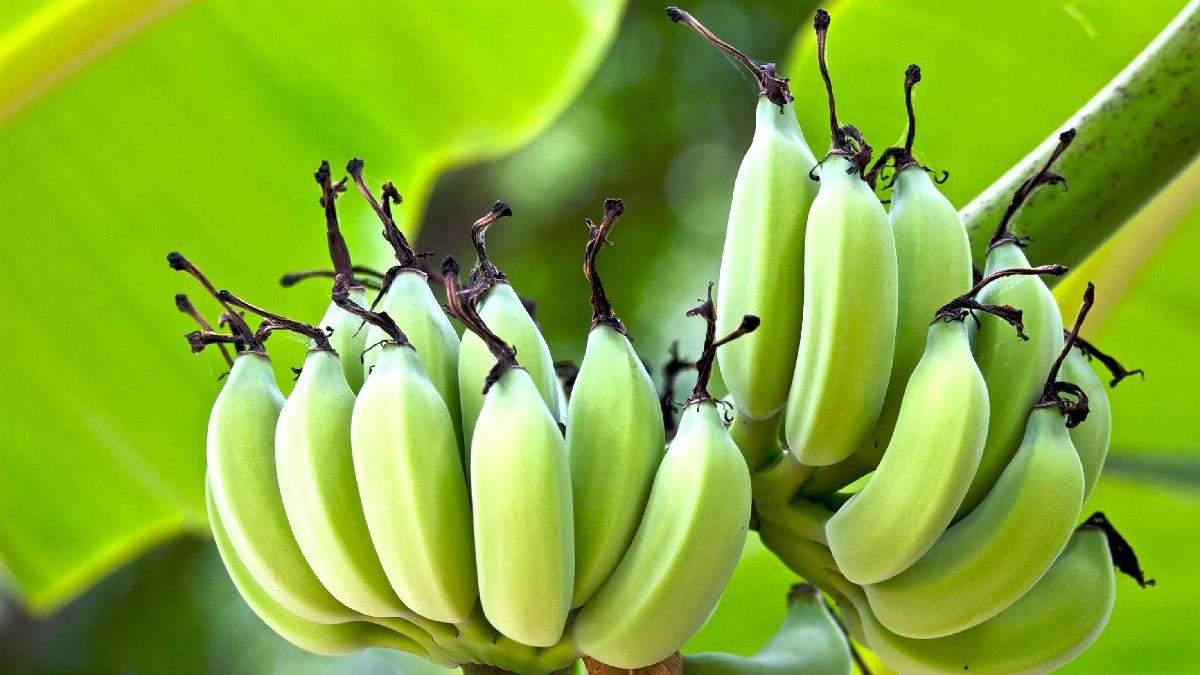 Вирощувати банани вдома – легко: детальна інструкція від тих, хто давно ними смакує
