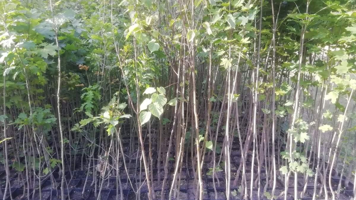 В Киеве дарят саженцы деревьев: как получить - Тренды